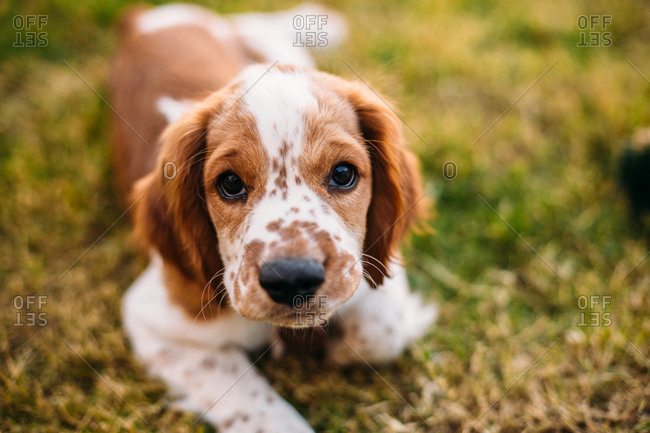 Tan and white puppy lying in grass