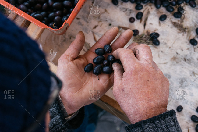 Old man counting olives, Senigallia, Marche, Italy