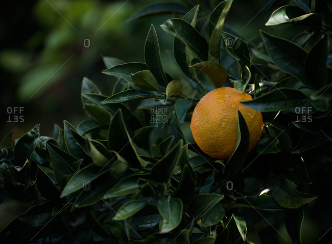 A single orange on a tree