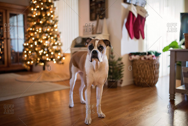 Boxer dog standing in home near Christmas tree