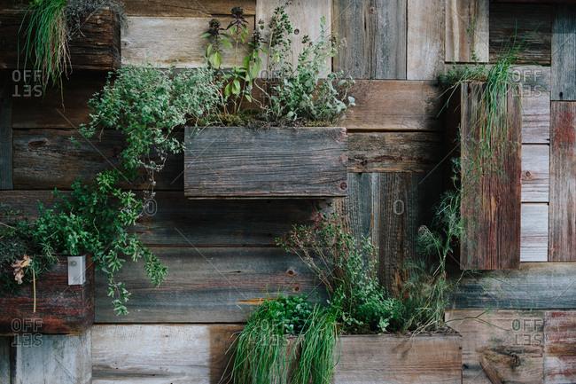 Herbs in an urban garden on a wooden wall