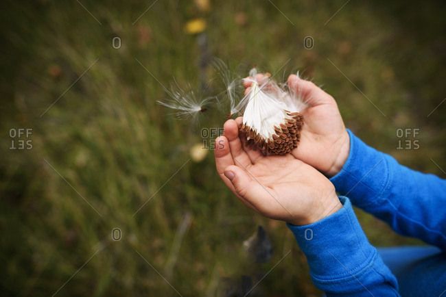 Overhead of child's hands holding milk weed seeds