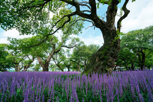 Meadow with purple wildflowers and gnarled tree