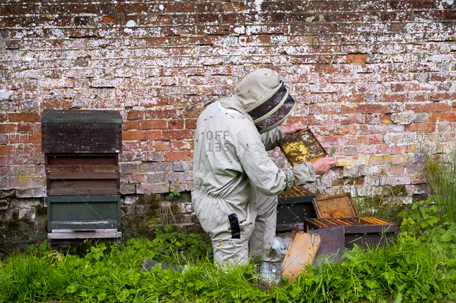 England - June 10, 2017: Beekeeper inspecting a honeycomb from a beehive