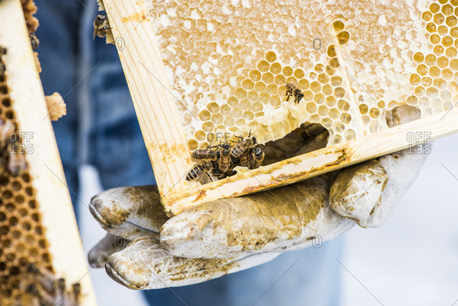 Urban beekeeper holding a hive frame with honey and bees