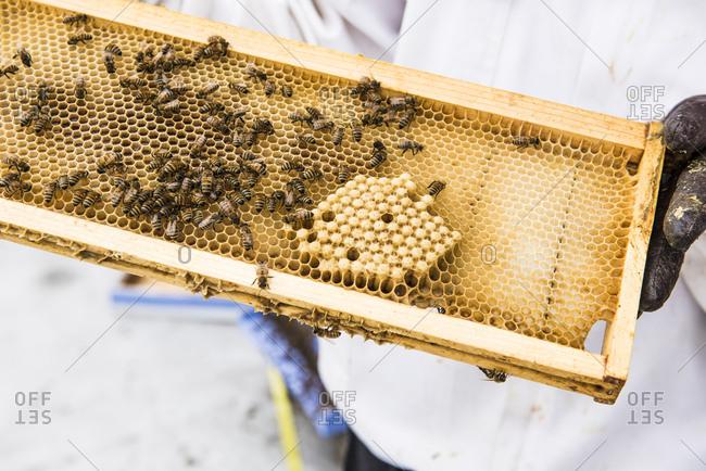 Urban beekeeper inspecting a hive