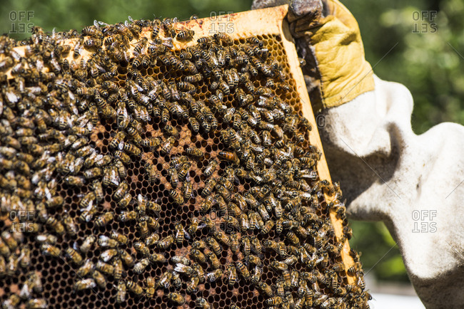Beekeeper holding a frame containing the queen bee