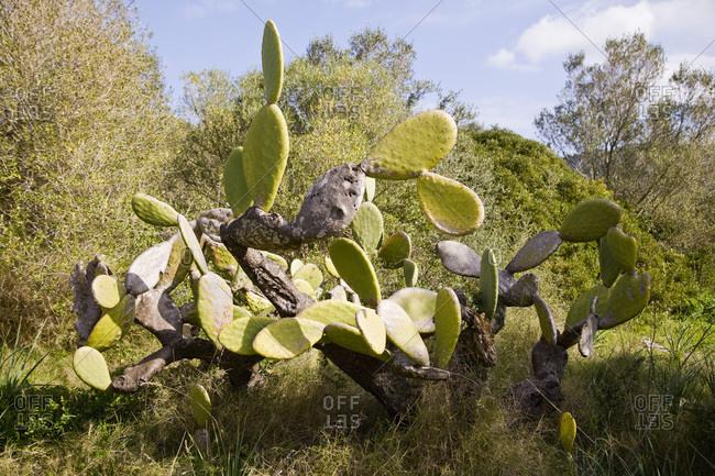 Cactus, Mallorca, Spain