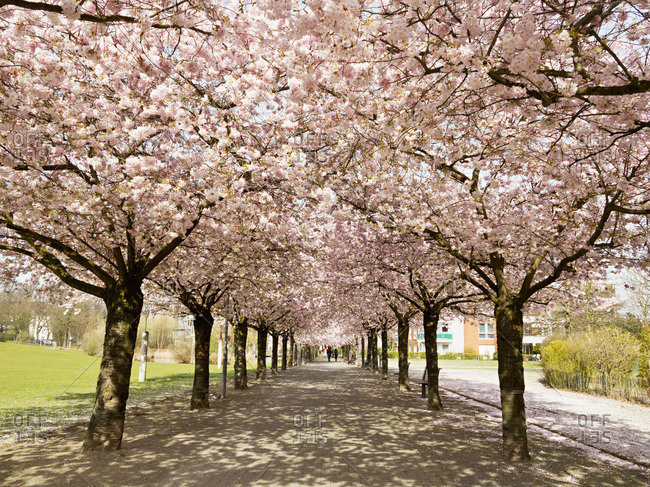 Cherry Blossoms, North Rhine-Westphalia, Germany