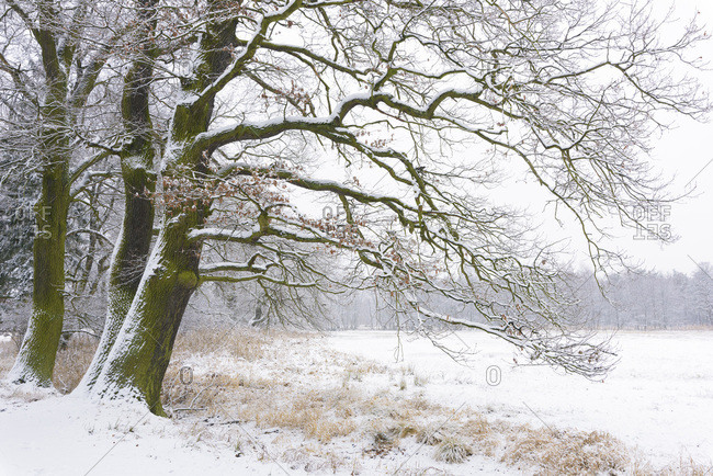Snow Covered Old Oak Trees, Hesse, Germany