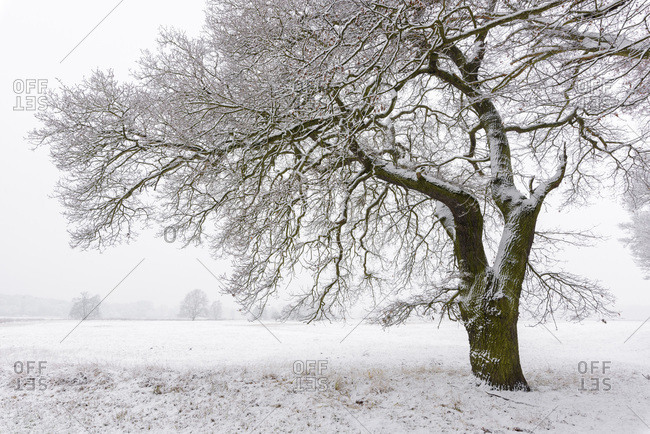 Snow Covered Old Oak Tree, Hesse, Germany
