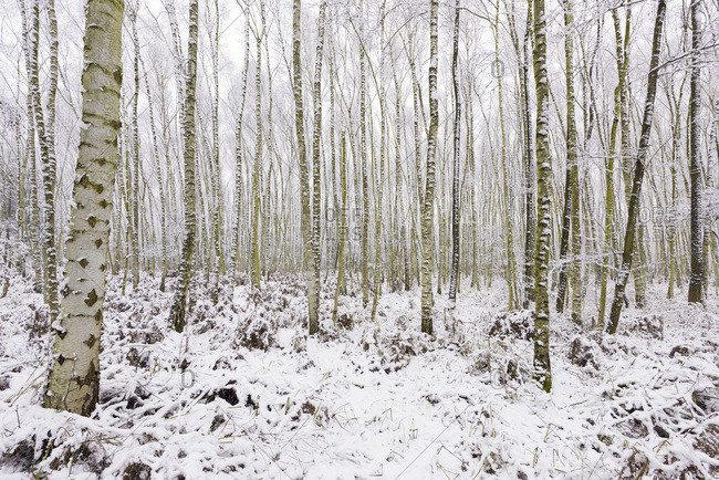 Birch Forest in Winter, Hesse, Germany