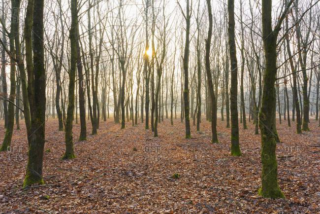 Oak Trees in Wintertime at Sunrise, Hesse, Germany