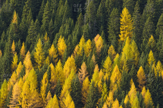 Elevated view of a Dolomite mountain forest with golden, larch trees at Misurina in Cadore in Belluno District of Veneto, Italy