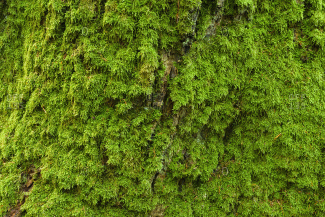 Close-up of moss covered oak tree trunk in Hesse, Germany