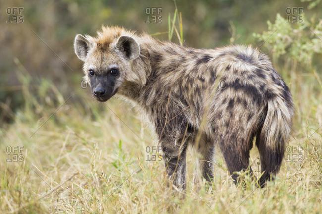 Portrait of young spotted hyena (Crocuta crocuta) in the Okavango Delta in Botswana, Africa