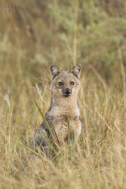 Portrait of a side-striped Jackal (Canis adustus) in the Okavango Delta in Botswana, Africa