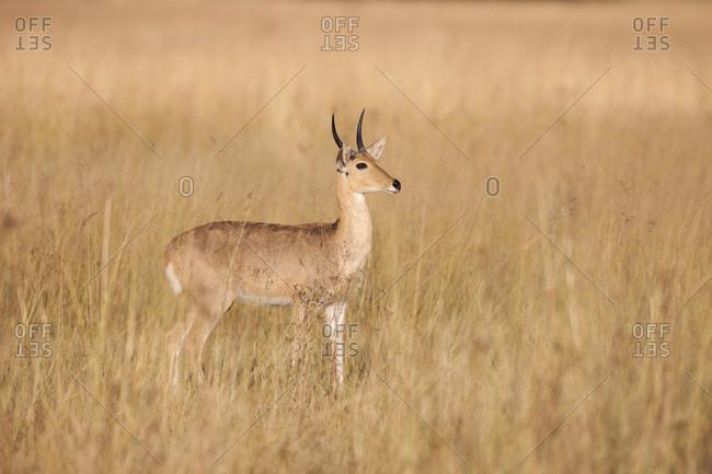 Southern reedbuck (Redunca arundinum) standing in grassland in Okavango Delta in Botswana, Africa