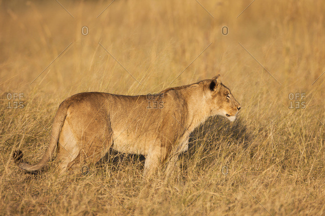African lioness (Panthera leo) walking in the grassland at Okavango Delta in Botswana, Africa