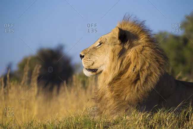 Profile portrait of an African lion (Panthera leo) lying in grass looking into the distance at Okavango Delta, Botswana, Africa