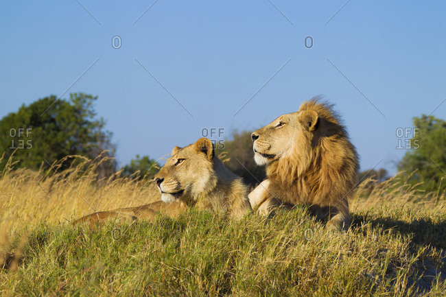 African lion and lioness (Panthera leo) lying in grass together looking into the distance at Okavango Delta, Botswana, Africa