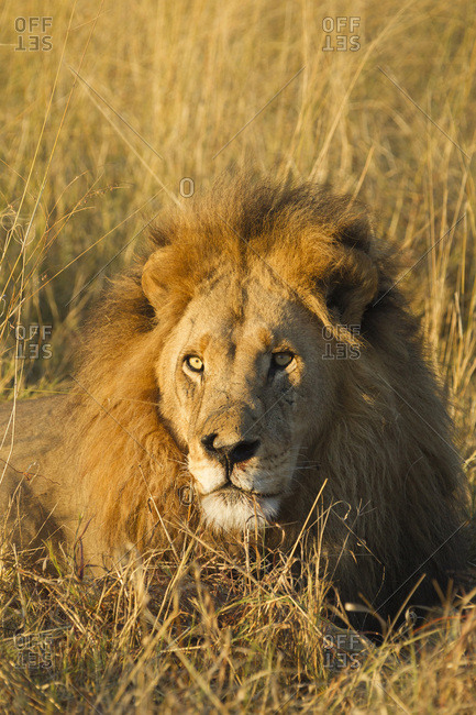 Portrait of an African lion (Panthera leo) lying in grass looking into the distance at the Okavango Delta in Botswana, Africa