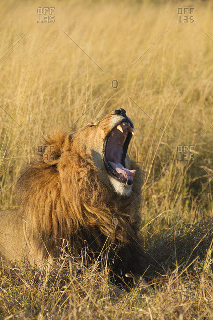 African lion (Panthera leo) lying in the grass yawning at the Okavango Delta in Botswana, Africa