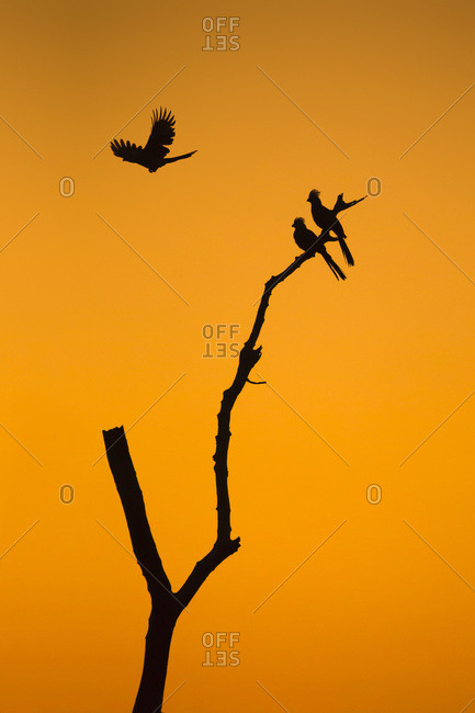 Go-away-birds (Corythaixoides concolor) silhouetted against beautiful sunrise sky in Botswana, Africa.