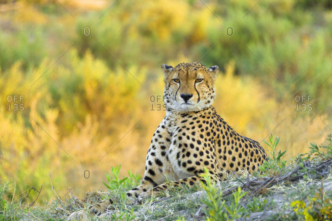 Portrait of a cheetah (Acinonyx jubatus) looking at the camera at the Okavango Delta in Botswana, Africa