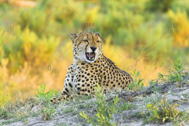 Portrait of a cheetah (Acinonyx jubatus) lying in the grass growling at the Okavango Delta in Botswana, Africa