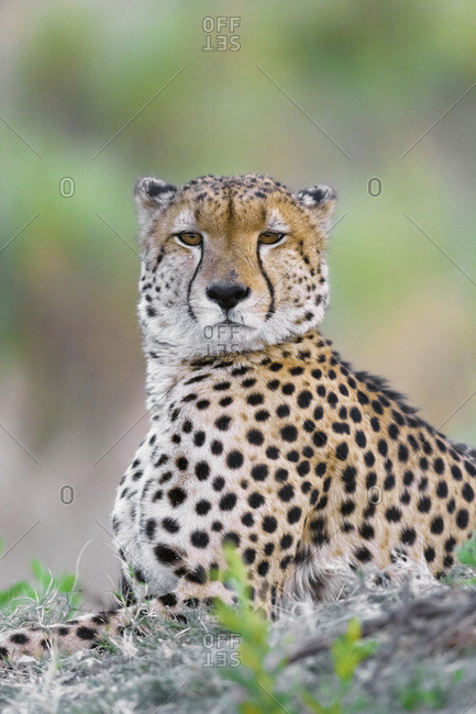 Portrait of a cheetah (Acinonyx jubatus) lying on the ground looking at the camera at the Okavango Delta in Botswana, Africa
