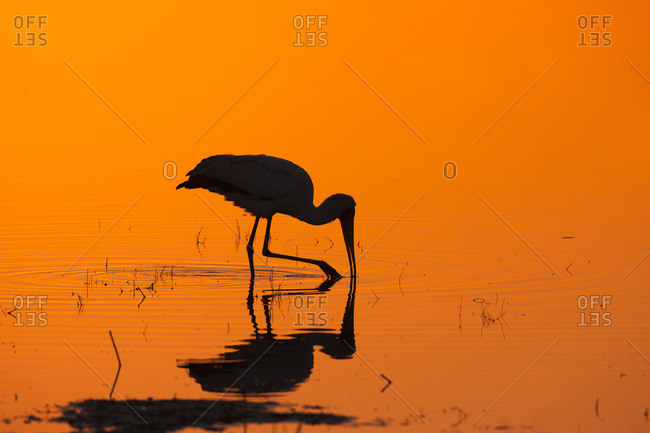 Silhouette of a yellow-billed stork (Mycteria ibis) hunting in a pool at sunrise at the Okavango Delta in Botswana, Africa