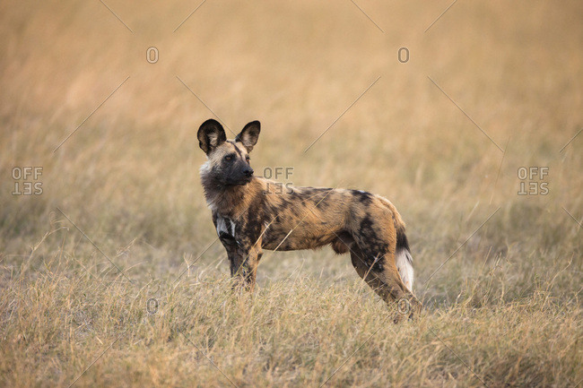 Wild dog (Lycaon pictus) standing in the grass looking over shoulder at the Okavango Delta in Botswana, Africa