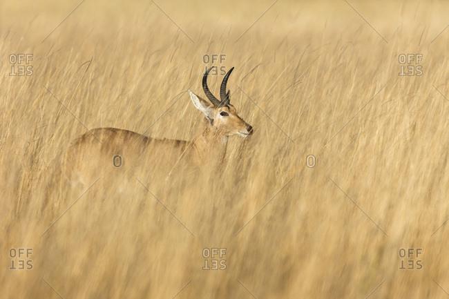 Red lechwe (Kobus leche leche) standing in tall grass at the Okavango Delta in Botswana, Africa