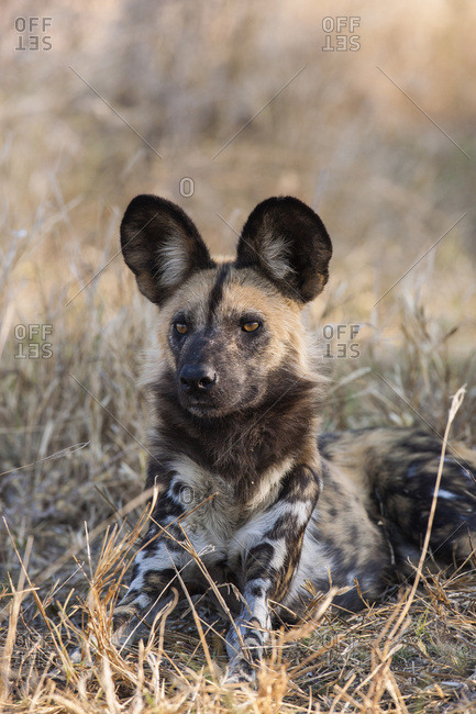 Portrait of a wild dog (Lycaon pictus) lying in the grass looking into the distance at the Okavango Delta in Botswana, Africa