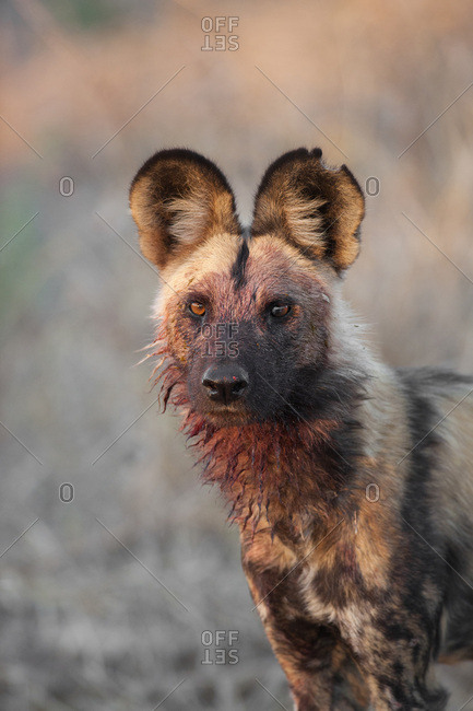 Portrait of a wild dog (Lycaon pictus) looking at the camera after feeding at the Okavango Delta in Botswana, Africa