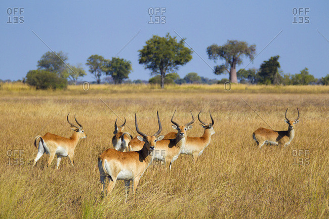 Group of red lechwes (Kobus leche leche) standing in the grass at the Okavango Delta in Botswana, Africa