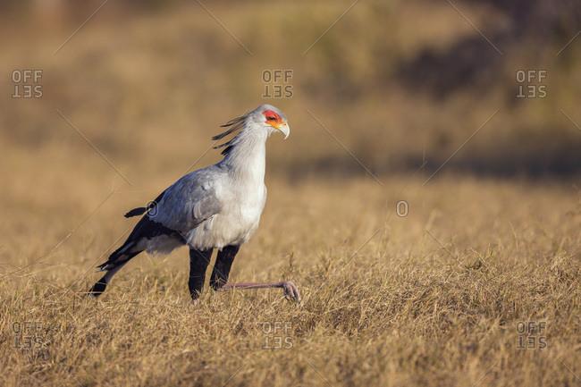 Profile portrait of a secretary bird (Sagittarius serpentarius) walking in a grassy field at Okavango Delta in Botswana, Africa