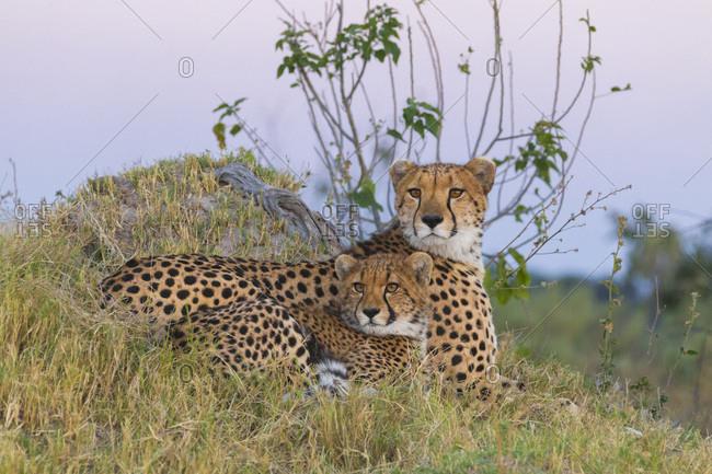 Portrait of cheetahs (Acinonyx jubatus), mother and young lying in grass looking alert at the Okavango Delta in Botswana, Africa