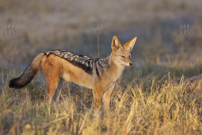 Black-backed Jackal (Canis mesomelas) standing in the grass at sunrise at the Okavango Delta in Botswana, Africa