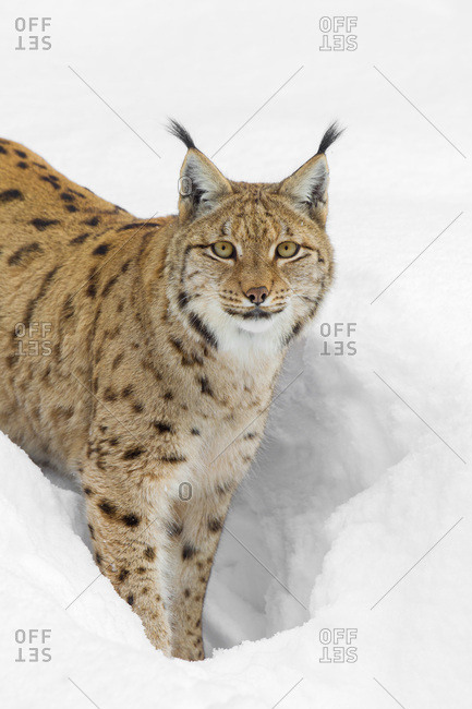 Portrait of an Eurasian Lynx (Lynx lynx) standing in deep snow and looking at the camera in Bavaria, Germany