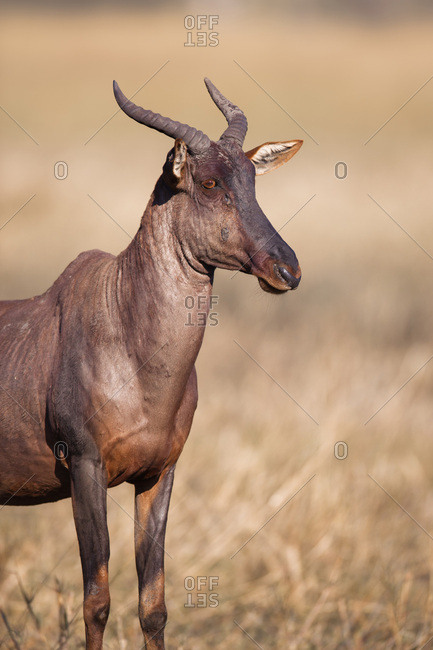 Portrait of a Topi or Tsessebe (Damaliscus lunatus) standing in the grass at the Okavango Delta in Botswana, Africa