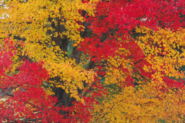 Close up of Maple Tree (Acer) with red and yellow fall foliage in New Hampshire, New England, USA