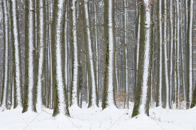 Snow covered tree trunks in forest in winter in Franconia, Bavaria, Germany