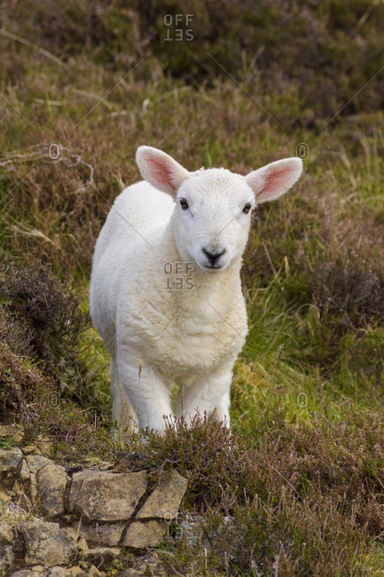 Close-up portrait of lamb in springtime at Dunvegan on the Isle of Skye in Scotland, United Kingdom