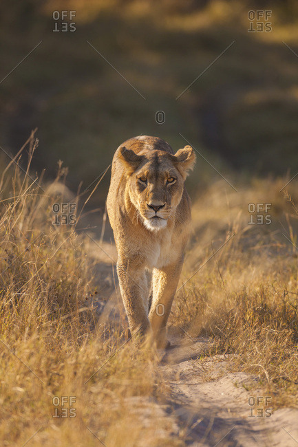 African lioness (Panthera leo) walking through the grassland at the Okavango Delta in Botswana, Africa