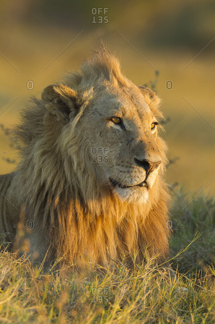Portrait of an African lion (Panthera leo) laying in the grass looking into the distance at Okavango Delta in Botswana, Africa