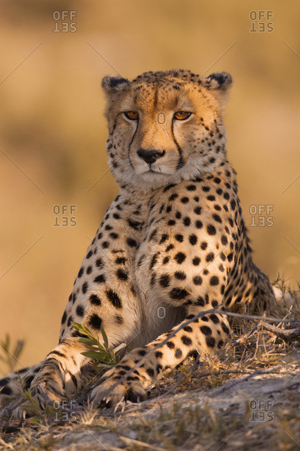Portrait of a cheetah (Acinonyx jubatus) lying on the ground at the Okavango Delta in Botswana, Africa