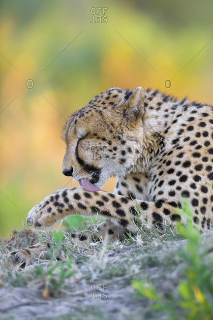 Cheetah (Acinonyx jubatus) licking his paw at the Okavango Delta in Botswana, Africa