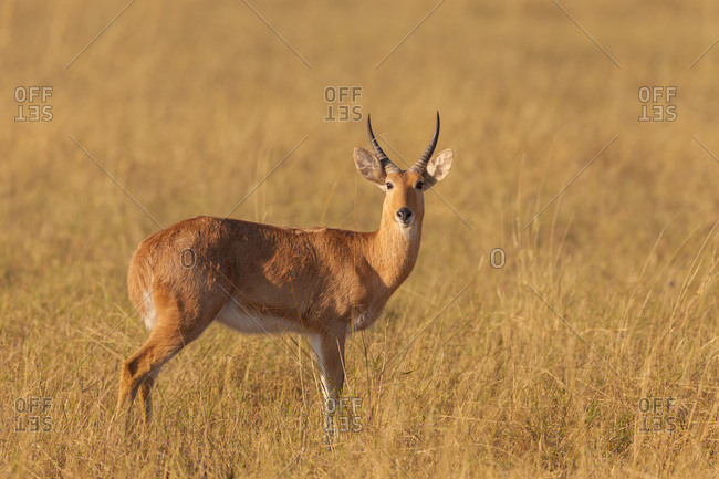 Portrait of Red lechwe (Kobus leche leche) standing in tall grass and looking at camera on the Okavango Delta, Botswana, Africa